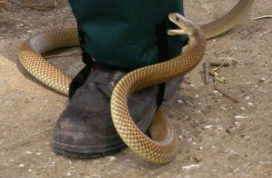 Snake-Gaiters