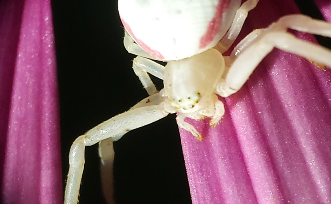 White Crab Spider, Samsung Galaxy on Nikon Objective Magnifier