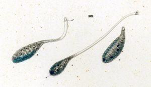 31-17-1-Lacrymaria-proteus