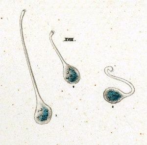 31-18-1-Lacrymaria-gutta
