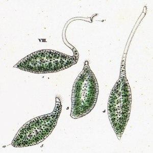 38-7-1-Lacrymaria-olor-originall-Trachelocerca-viridis