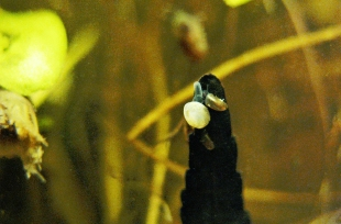 CLAM CLIMING DEAD LEAF CROP