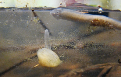 FINGERNAIL CLAM AND PLANARIAN WORM CROP IMG_4534