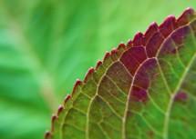 hydrangea-leaves-10x-spatter