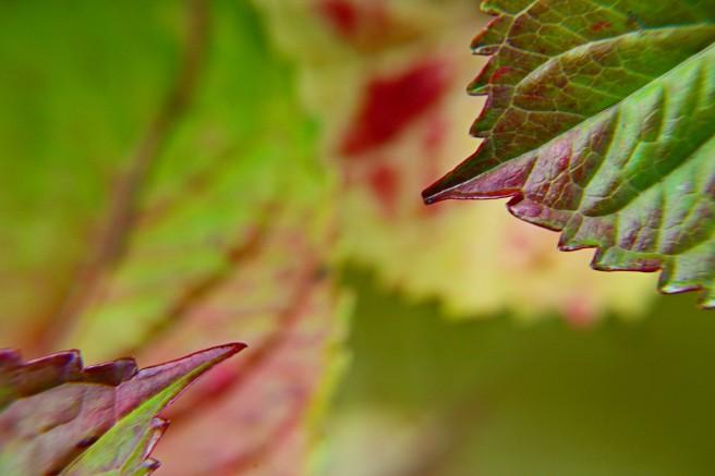 leaf-tips-hydrangea